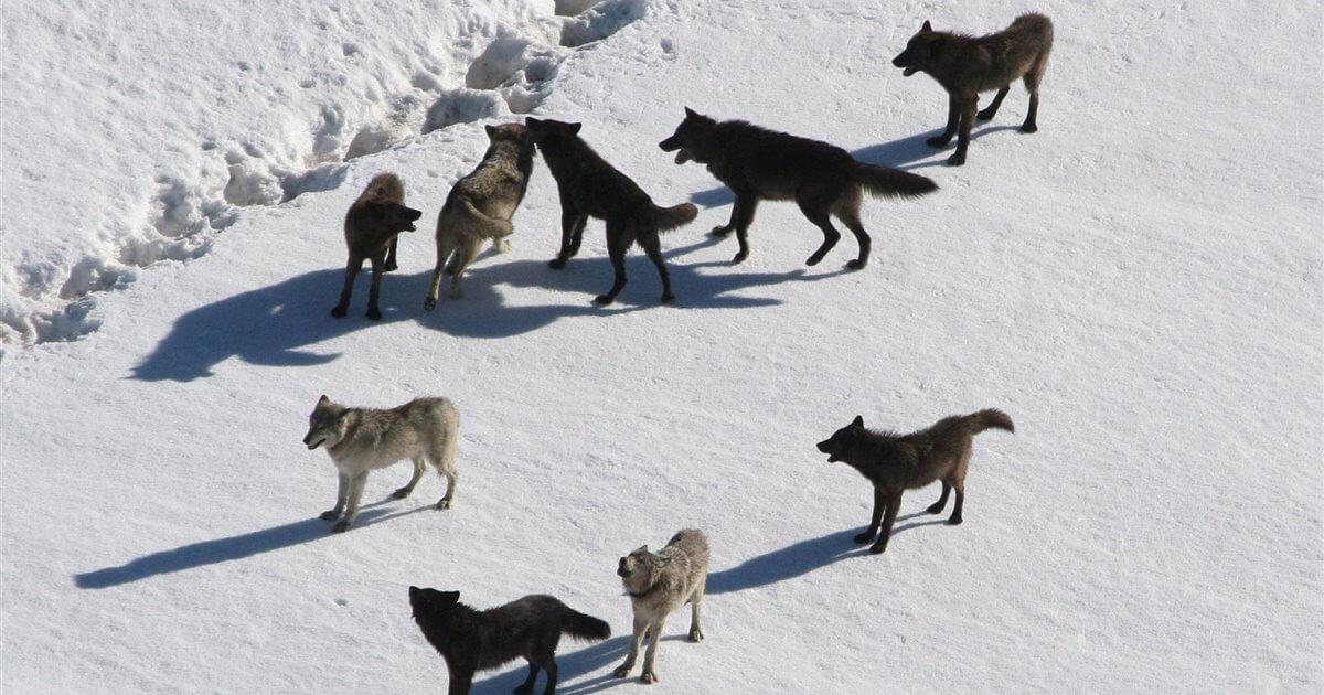 Manada de lobos en el Parque Nacional de Yellowstone